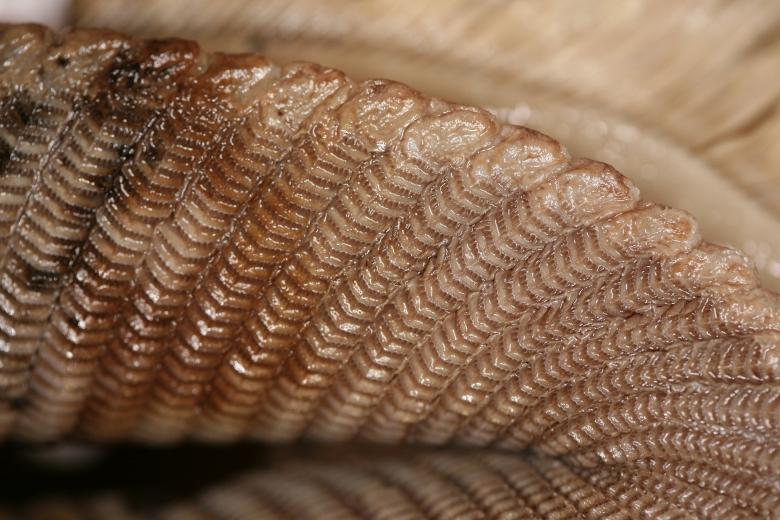 Las branquiespinas de las mantarrayas funcionan como un filtro entre el agua y el plancton