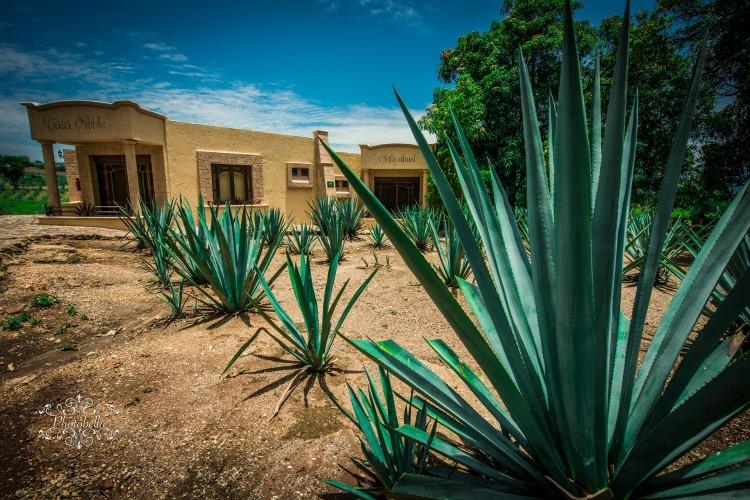 Estudian efectos del agave para combatir al intestino irritable