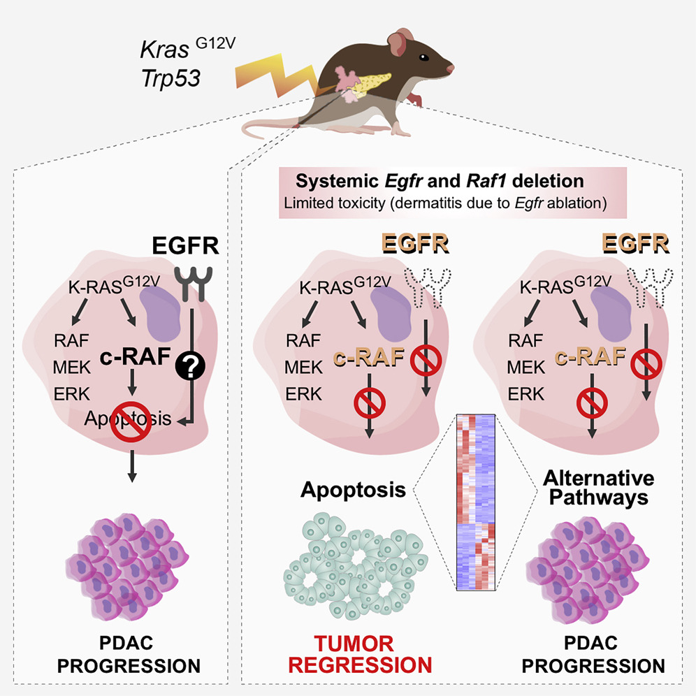 Eliminan cáncer de páncreas en ratones