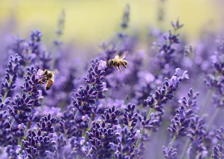Las abejas, polinizadores en peligro de extinción