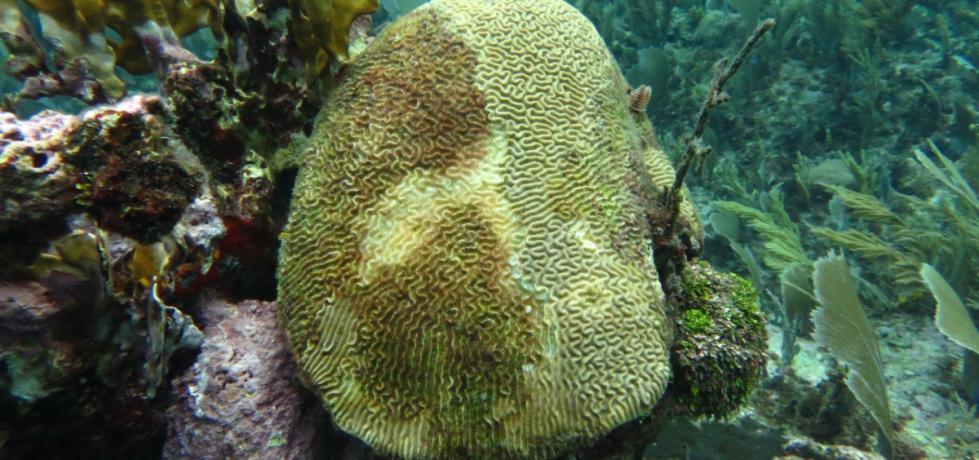 Veloz y agresiva, así fue la epidemia marina que se propagó por el Caribe