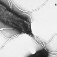 Helicobacter Pylori, una bacteria antropóloga que sabe de migraciones